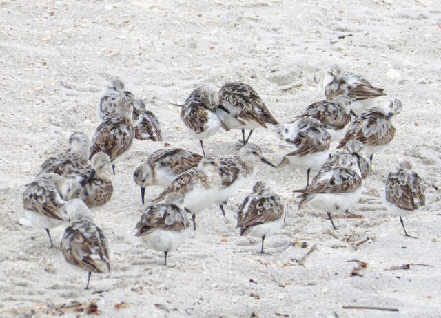 Sanderlings make themselves at home. Photo by Fran Palmeri