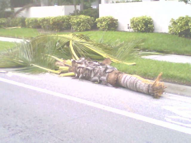 The sheared-off palm rests on the side of the road. Photo courtesy Michael Shay