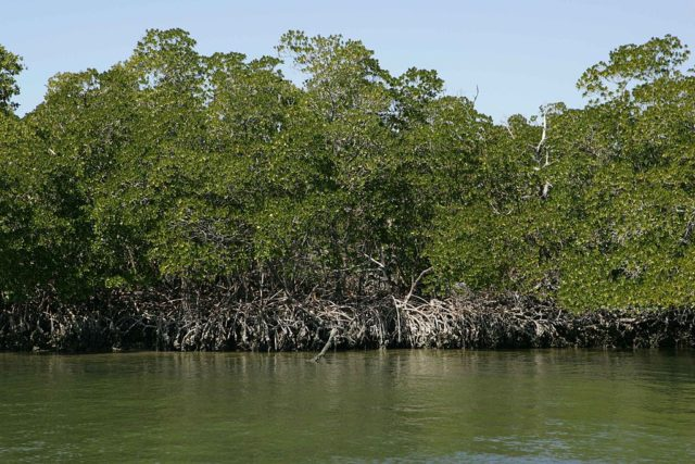 Red mangroves stand at the water's edge. Photo courtesy U.S. Fish and Wildlife Commission