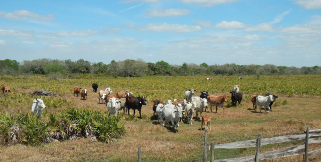 Cattle still graze on part of the ranch. Image courtesy Conservation Foundation of the Gulf Coast