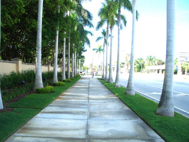 Tall palms used to flank both sides of the sidewalk east of the Ritz-Carlton. Photo courtesy City of Sarasota