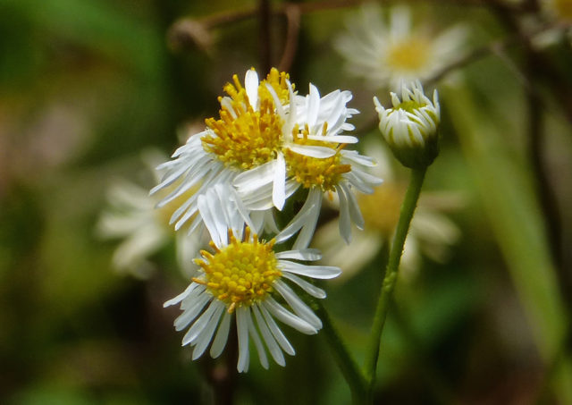 Fleabane brightens pinelands. Photo by Fran Palmeri