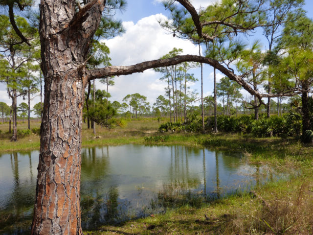 Pines frame a vista in the Babcock-Webb Wildlife Management Area in Charlotte County. Photo by Fran Palmeri