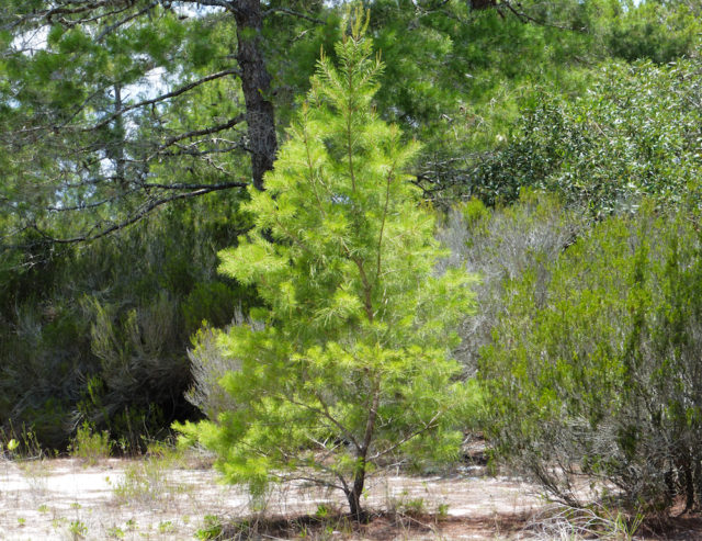 A young sand pine stands in Highlands County scrub. Photo by Fran Palmeri